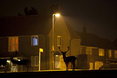 BWPA Urban Wildlife Winner - Jamie Hall for Fallow Deer on Housing Estate