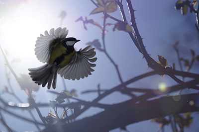 BWPA WildPix 12-18 Winner - Joseph Amess for Great Tit in flight