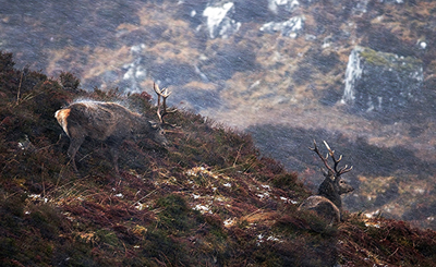 BWPA Habitat Winner - Margaret Walker for Red Deer Stags Enduring Blizzard