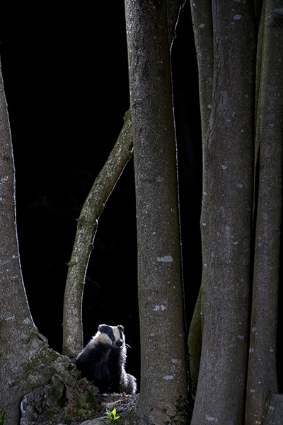 BWPA WildWoods Winner - Richard Packwood for Badger in the Woods