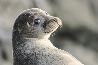 Common Seal by John Moncrieff